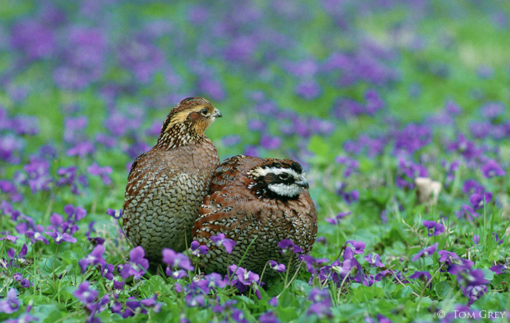 Northern Bobwhite by Tom Grey
