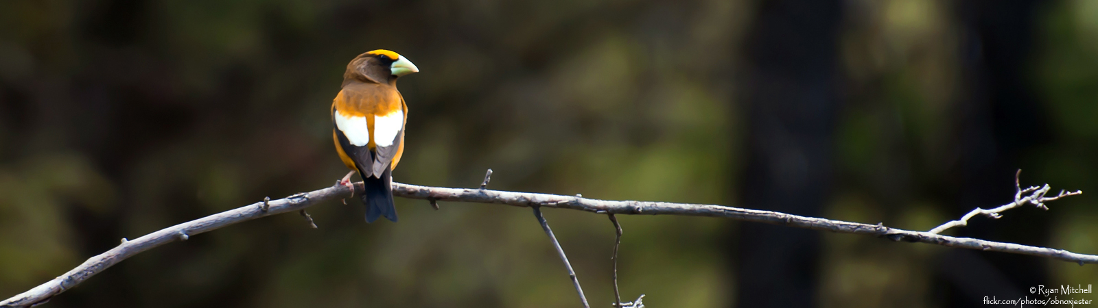 slider-evening-grosbeak-4
