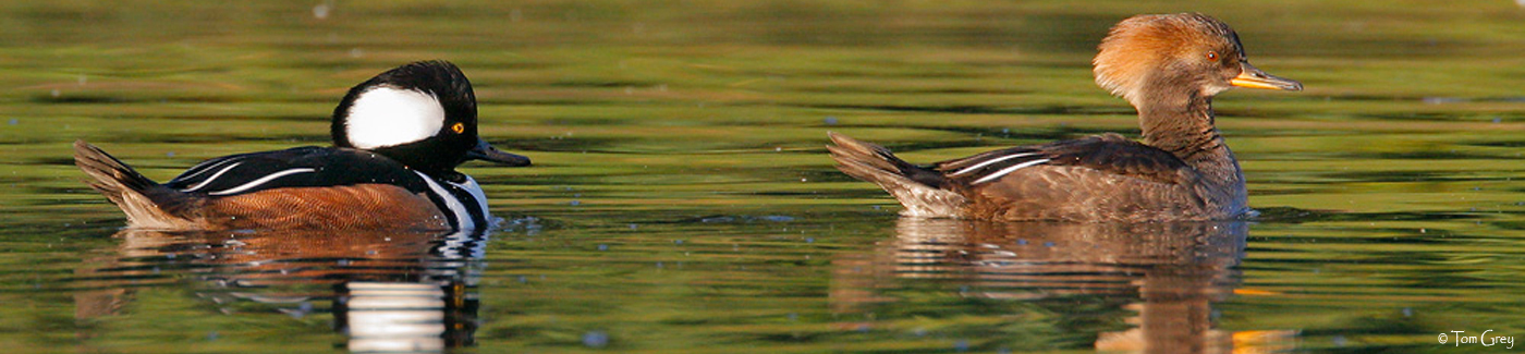 slider-hooded-merganser-tom-grey-14001