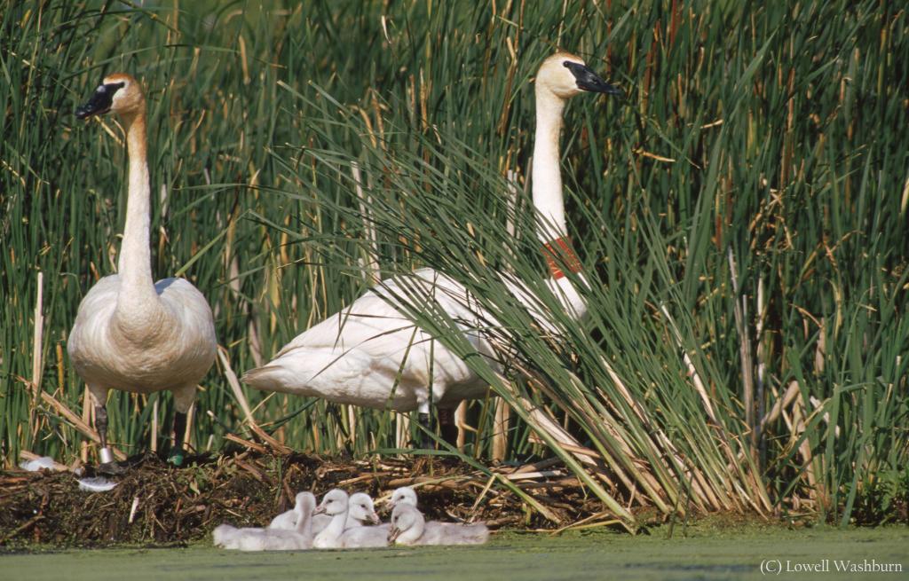 Lowell Washburn-Swan Brood 2002-Wildlife003