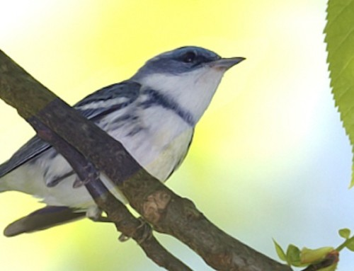 Actively Managing for Cerulean Warblers