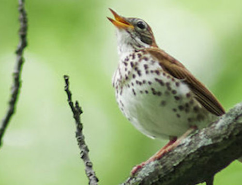 New Research Identifies Abundant Wood Thrush Population in Remnant Dry Forest Patches of Honduras