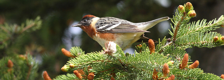 University of Maine Finishes Field Study of Songbirds in the Northern Forest